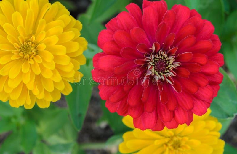 Flor vermelha e amarela dos elegans do Zinnia foto de stock royalty free