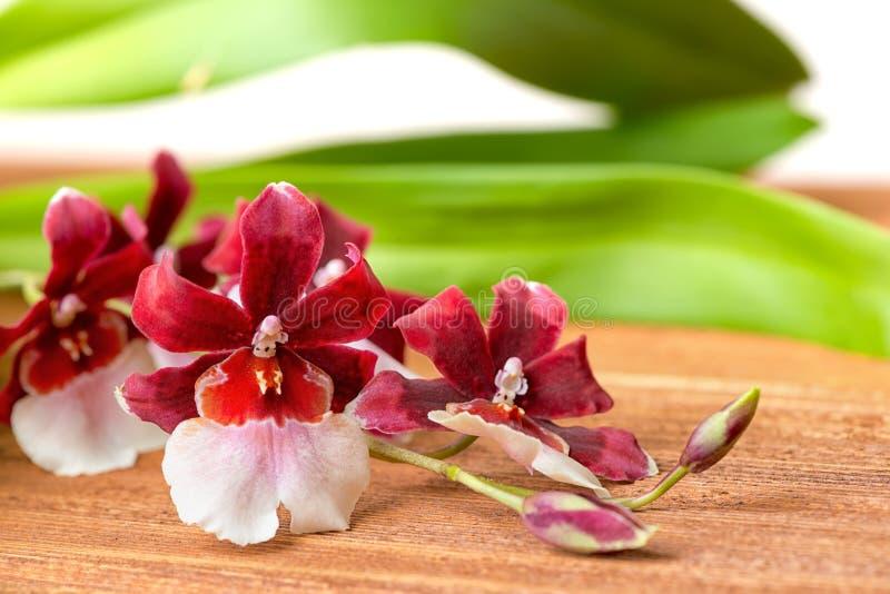 Flor vermelha e branca do galho de florescência da orquídea, cambria com le verde imagens de stock