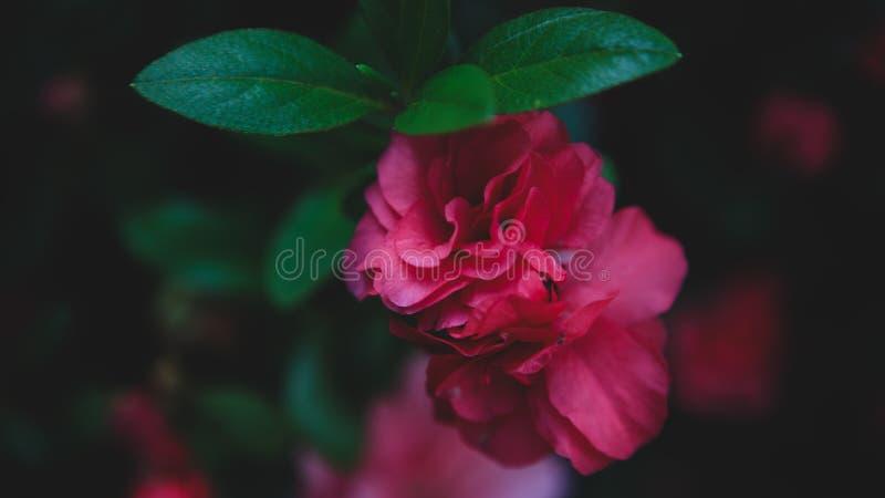 Flor vermelha elegante e impressionante fotos de stock royalty free