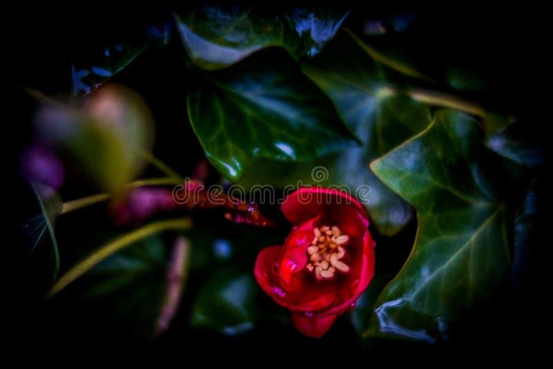 Flor vermelha entre as folhas fotos de stock