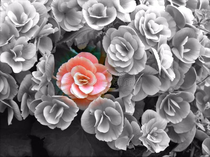 Flor vermelha entre flores greyscale fotos de stock