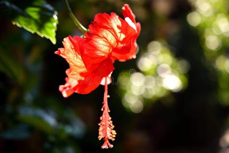 Flor vermelha intensa do hibiscus com bokeh na luz solar fotografia de stock