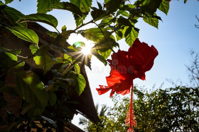 Flor vermelha intensa do hibiscus com bokeh na luz solar imagem de stock royalty free