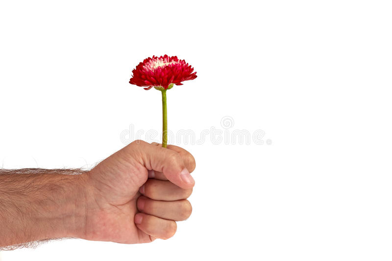 Flor vermelha na mão do homem foto de stock