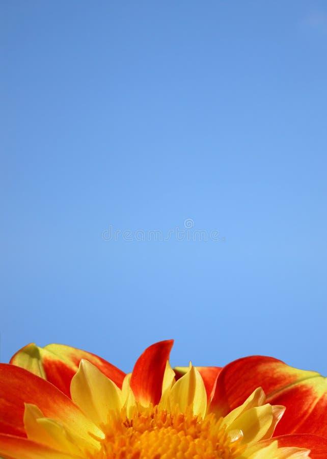 Flor vermelha no azul fotografia de stock