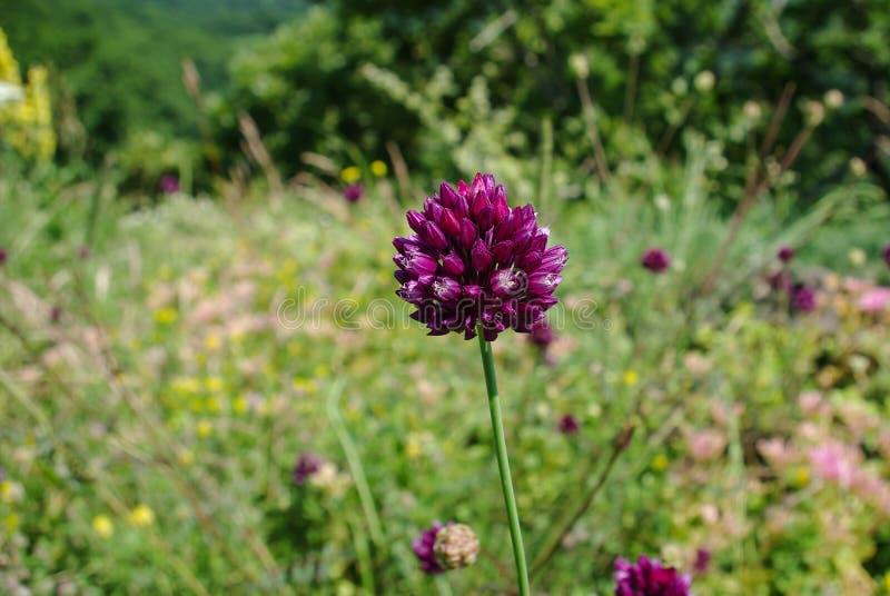 Flor vermelha nos prados alpinos fotos de stock royalty free