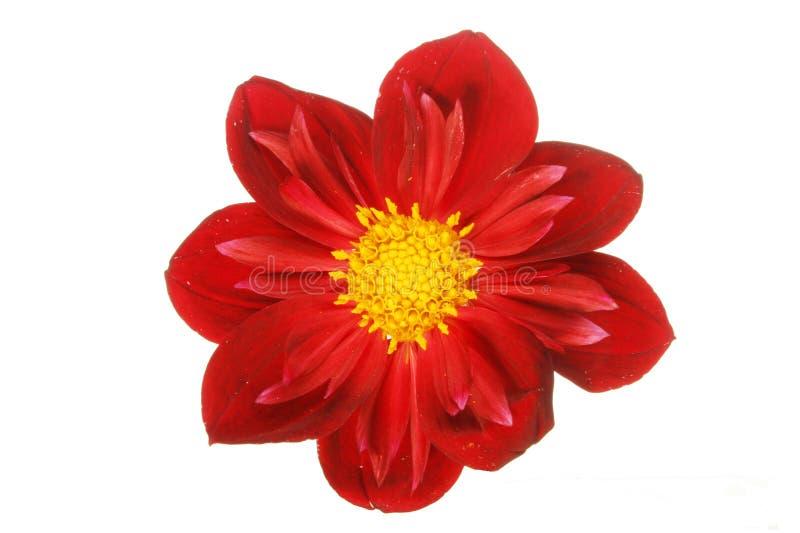Flor vermelha obscura da dália fotografia de stock