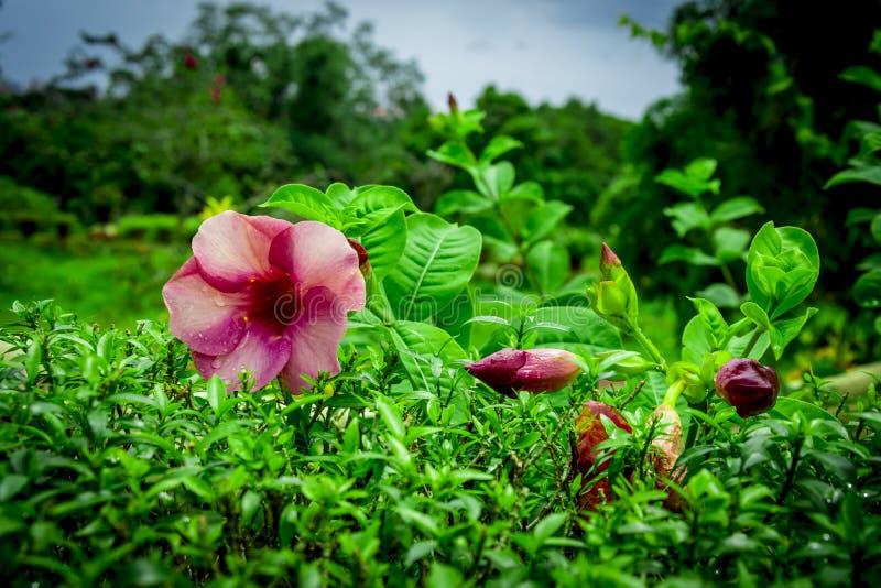 Flor vermelha róseo no jardim em Kochi fotos de stock royalty free