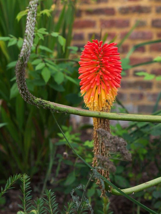 Flor vermelha tropical exótica com fundo blured do brickwall foto de stock