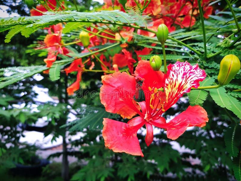 Flor vermelha vívida da árvore de chama fotos de stock