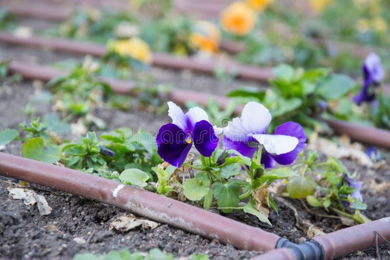 A flor violeta bonita com sistema de irrigação do gotejamento no parque da cidade, polvilha o equipamento atrás das flores em um  foto de stock royalty free