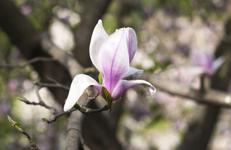 Flor violeta bonita da magnólia imagens de stock