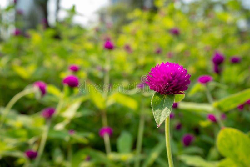 Flor violeta bonita em flores roxas borradas e no fundo verde das folhas fotografia de stock royalty free
