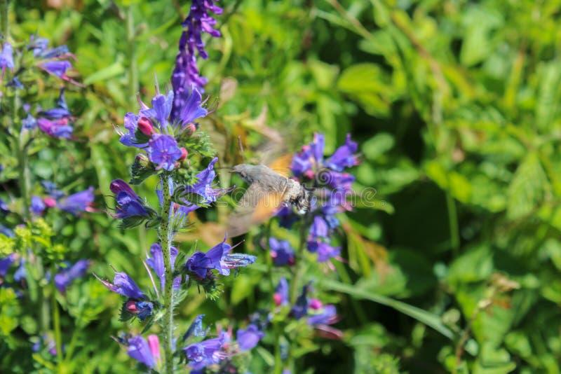 Flor violeta com o macroglossum na mosca, foto macro fotografia de stock