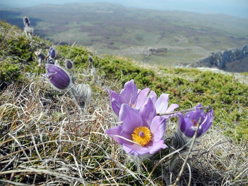 Flor violeta da pasque-flor de Butiful que floresce na inclinação de montanha no close up da mola imagens de stock