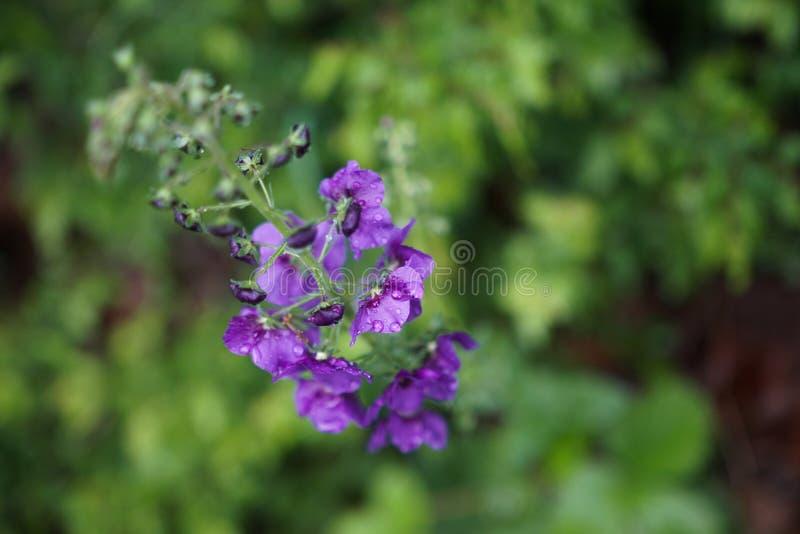 Flor violeta de florescência fotografia de stock