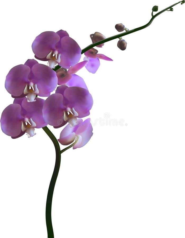 Flor violeta de la orquídea del color en blanco ilustración del vector