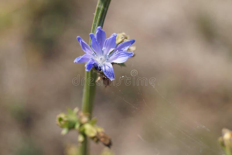 Flor violeta del cichorium foto de archivo libre de regalías