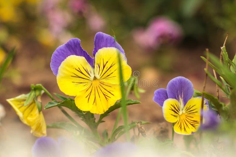 Flor violeta del pensamiento, primer de la viola tricolor en la primavera o jardín del verano imagenes de archivo