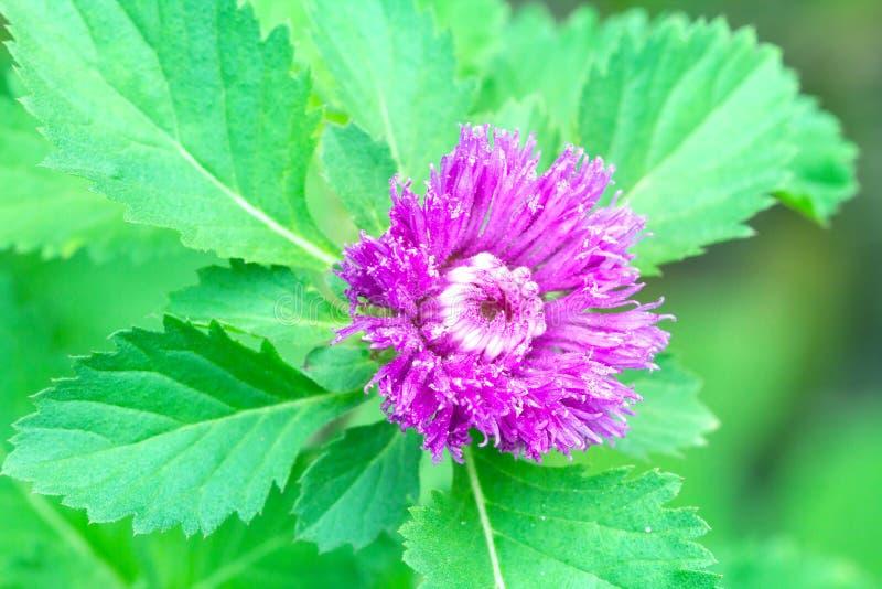 Download Flor Violeta Del Primer Con La Hoja Verde Foto de archivo - Imagen de verano, planta: 42425536
