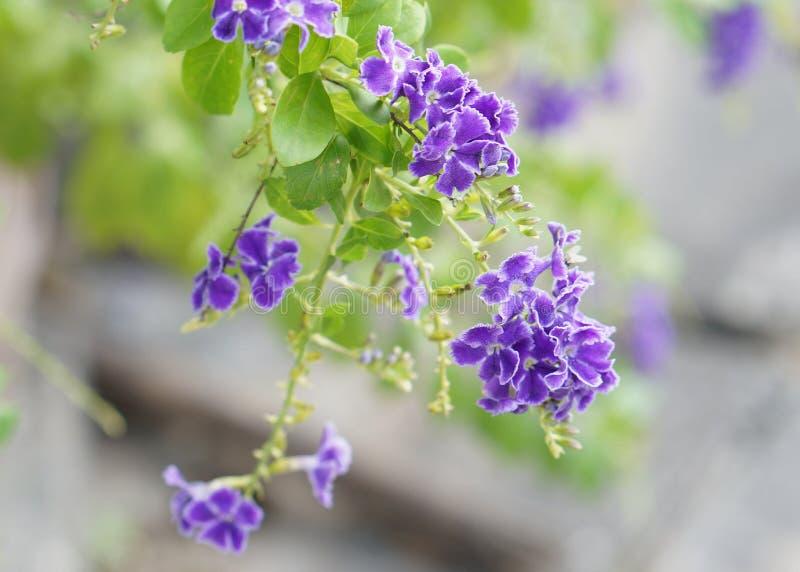 Flor violeta, descenso de rocío de oro, erecta de Duranta en fondo de la naturaleza imagenes de archivo