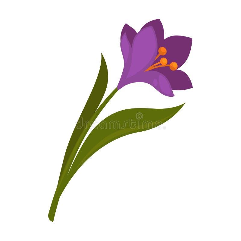Flor violeta do açafrão da mola com as folhas do verde isoladas no branco ilustração do vetor