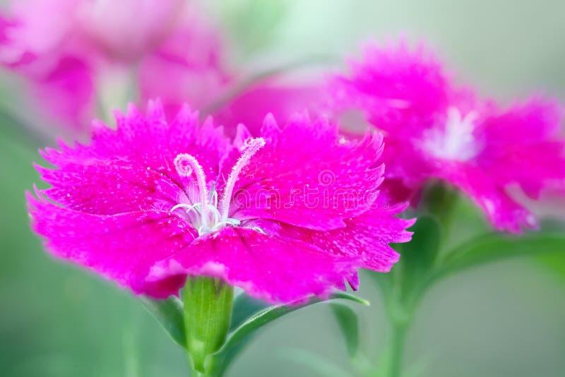 Flor violeta do cravo foto de stock royalty free