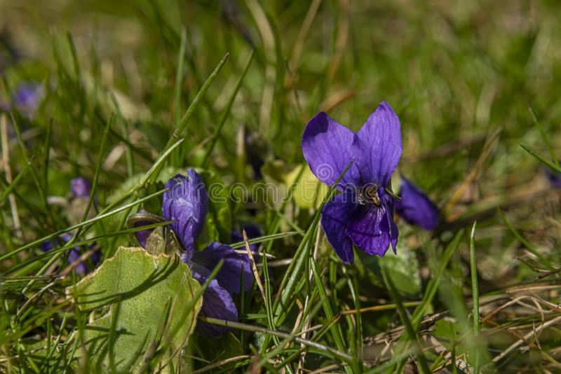 Flor violeta en hierba fresca de la primavera verde en jardín imagen de archivo