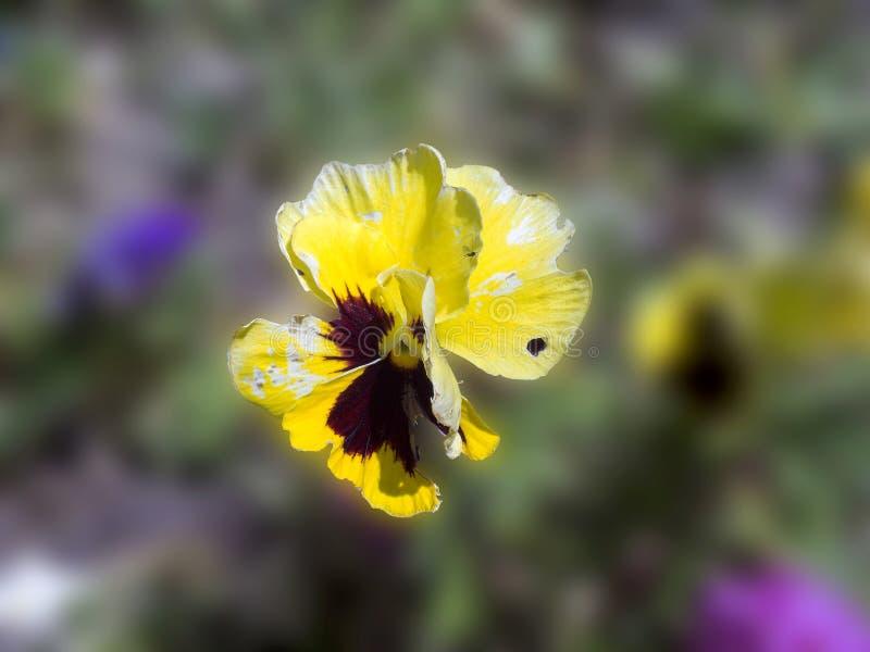Flor violeta en un fondo borroso imágenes de archivo libres de regalías