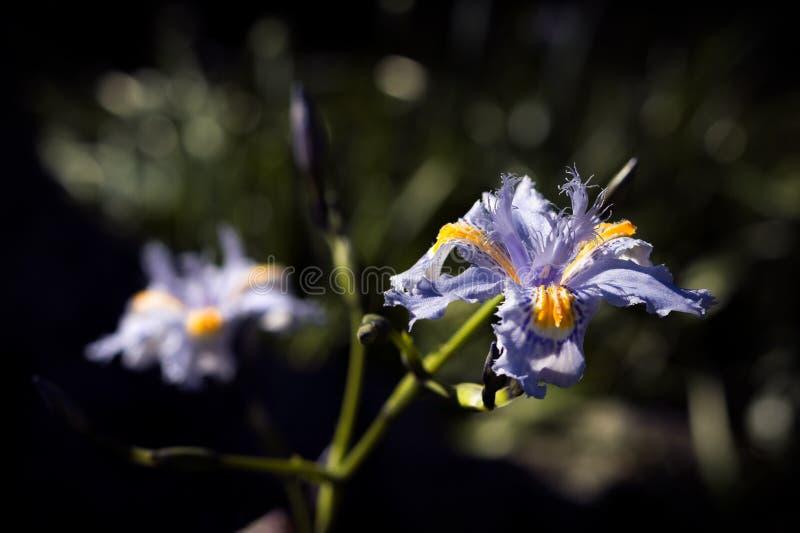 Flor Violeta - Iris japonica o Lirio de Japón Fringed Iris. - Violet Flower - Iris japonica or Lily of Japan Fringed Iris. Flor Violeta - Iris japonica o stock images