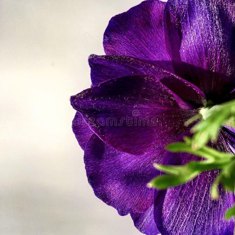 Flor violeta macro imagens de stock