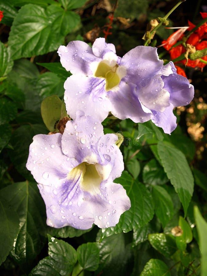 Flor violeta na floresta úmida tropical fotografia de stock