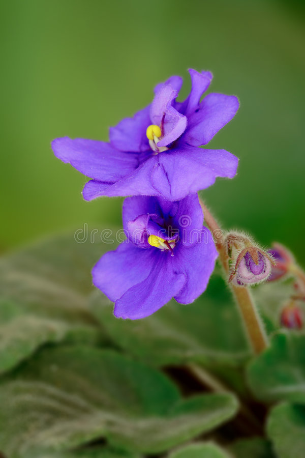 Flor violeta (odorata de la viola) fotos de archivo