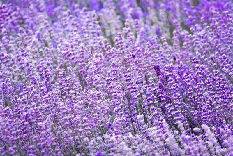 Flor violeta púrpura de la lavanda del color imagen de archivo