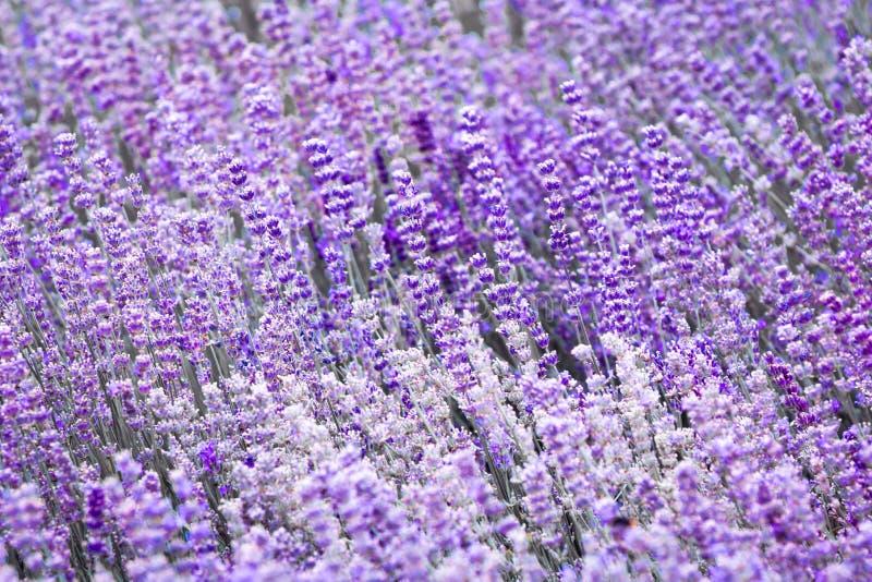 Flor violeta púrpura de la lavanda del color fotografía de archivo libre de regalías