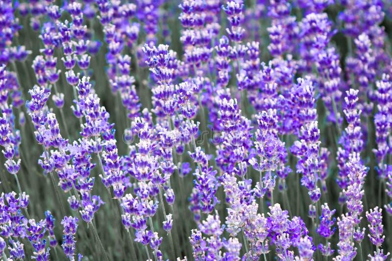 Flor violeta púrpura de la lavanda del color fotos de archivo libres de regalías