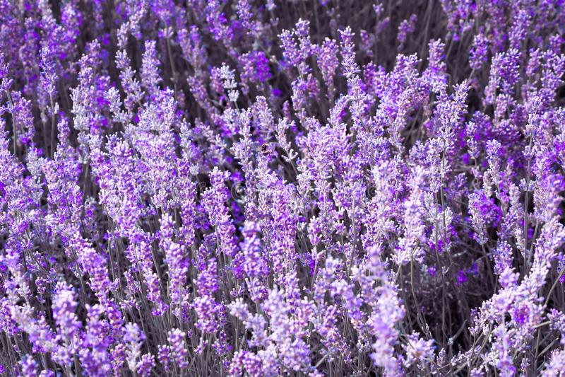 Flor violeta púrpura de la lavanda del color fotografía de archivo