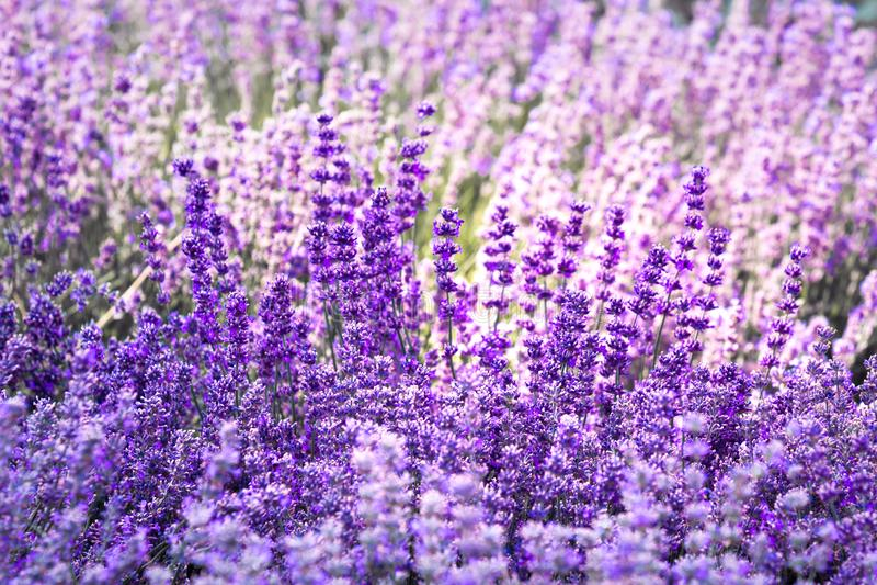 Flor violeta púrpura de la lavanda del color imagenes de archivo