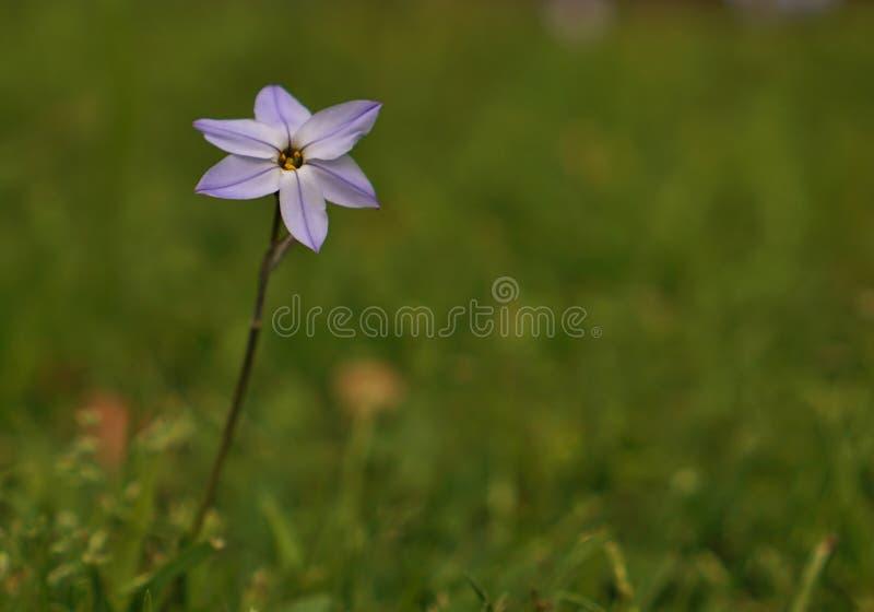 Flor violeta roxa selvagem pequena foto de stock royalty free