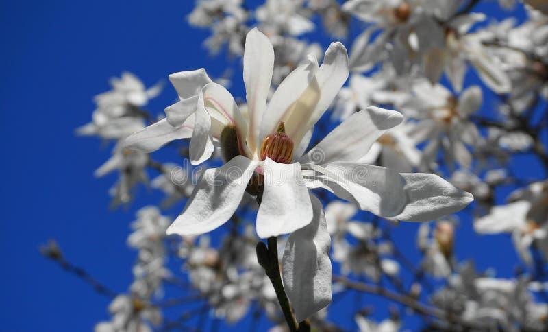 Flor vistoso e bonita do stellata da magnólia com as flores brancas no fundo do céu azul Árvore da estrela da magnólia fotos de stock