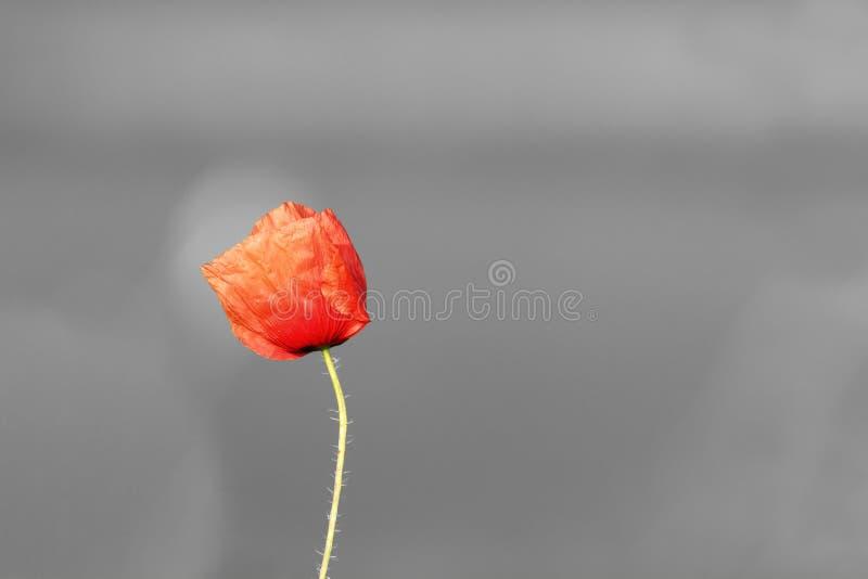Flor viva abstracta de la amapola sobre fondo blanco y negro fotografía de archivo