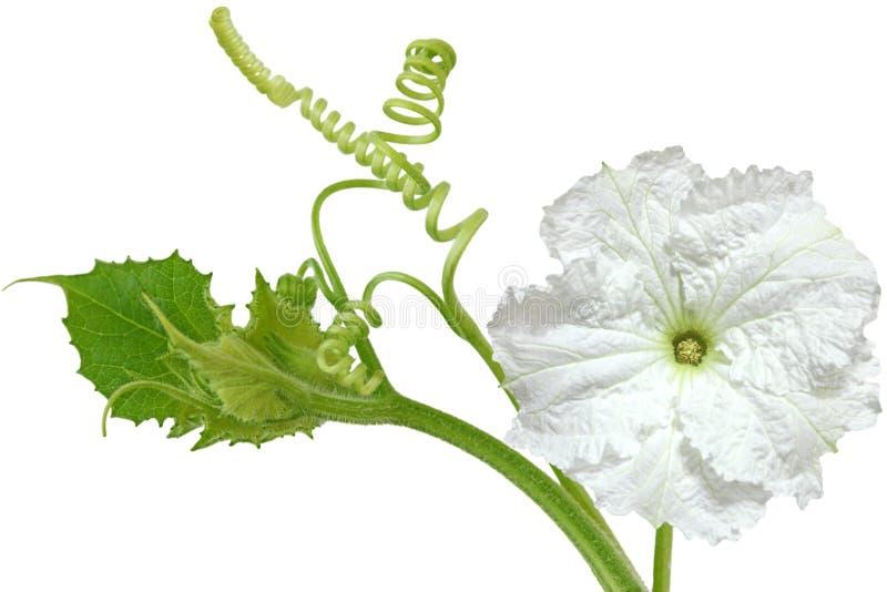 Flor vulgaris do Lagenaria fotos de stock