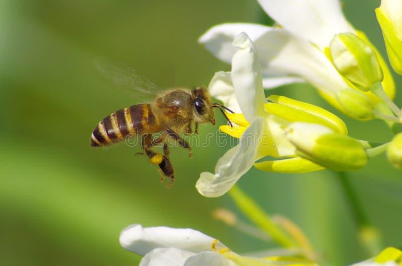 flor y abeja fotos de archivo libres de regalías
