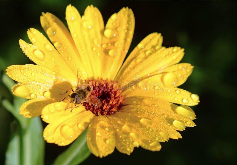 Flor y abeja de trabajo fotografía de archivo libre de regalías