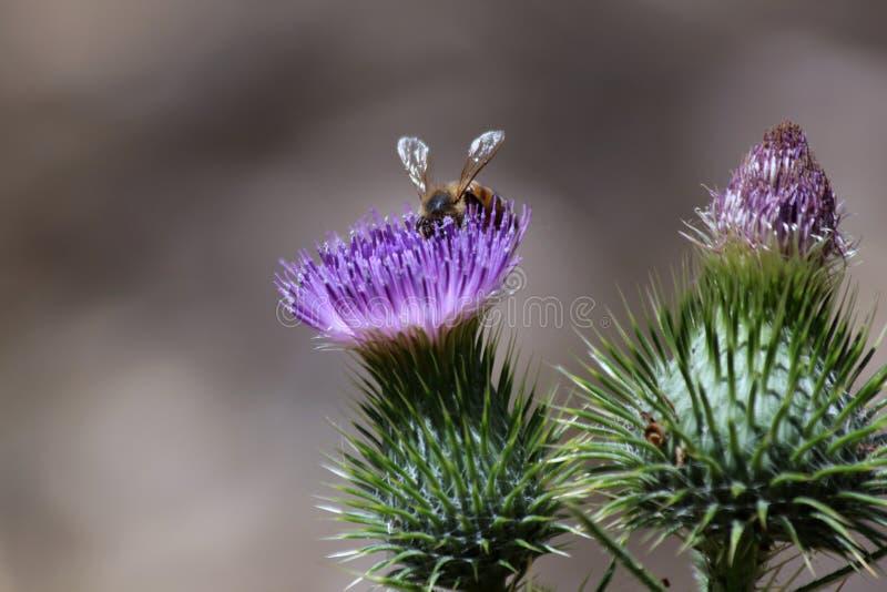 Flor y abeja del cardo imagenes de archivo