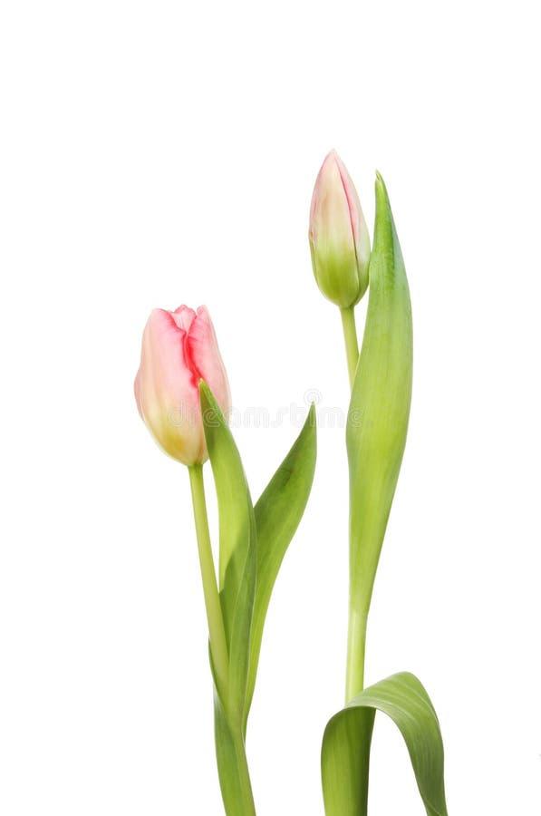Flor y brote del tulipán imágenes de archivo libres de regalías