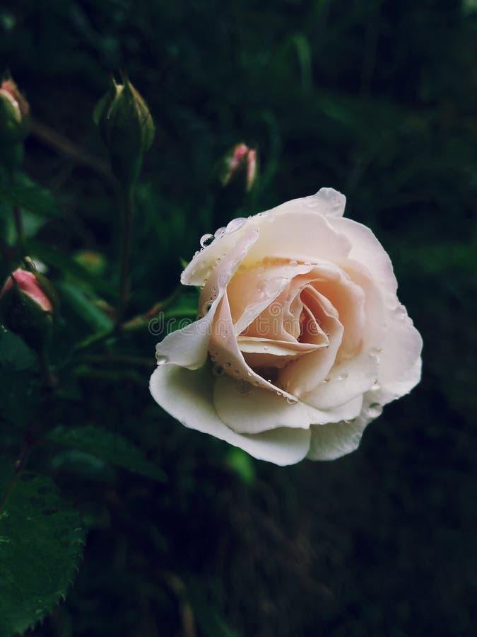 Flor y brotes de Rose fotos de archivo