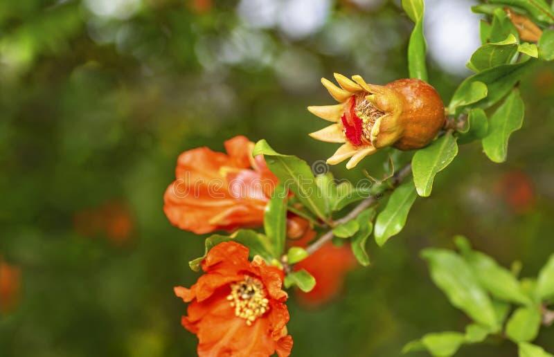 Flor y fruta de la granada foto de archivo