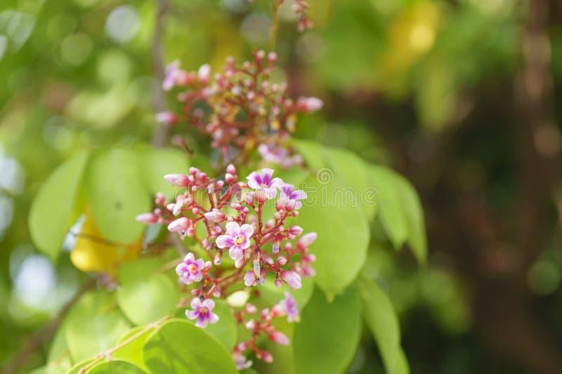 Flor y hoja del carambola del Averrhoa de la fruta de estrella imagen de archivo libre de regalías
