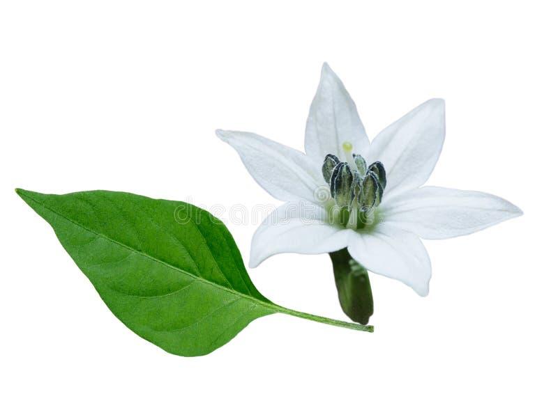 Flor y hoja del chile foto de archivo libre de regalías